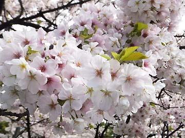 桜もいっぱいーー