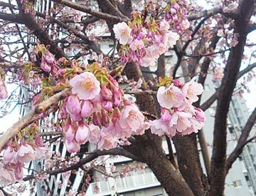 桜だよね?