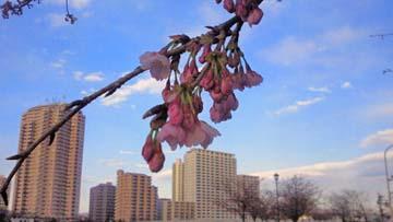 ちょっと前の桜