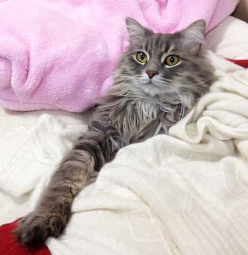 イケめんのボヤン猫